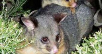 50e5ecc90d7 Men s Potency Could Be Saved By Possums