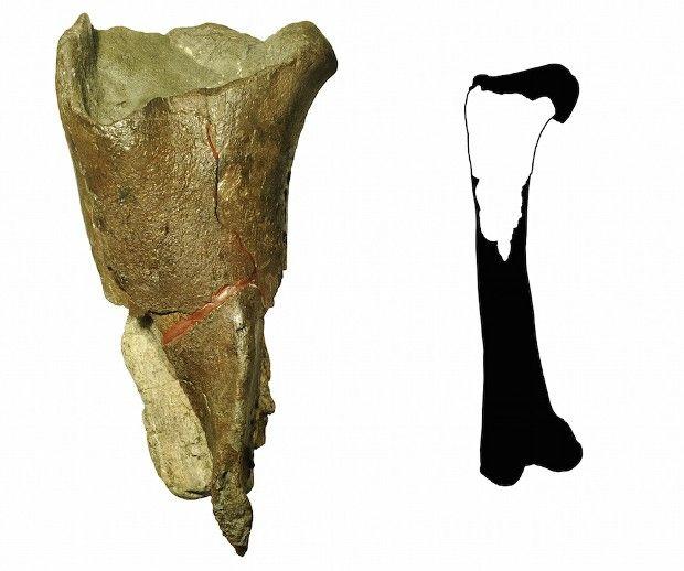 80-Million-Year-Old Dinosaur Thigh Bone Found in Washington, US