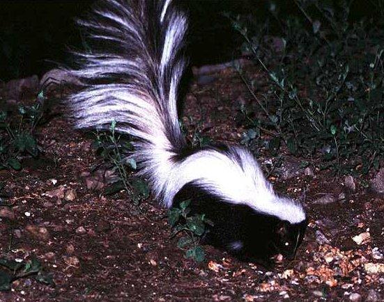 all you need to know about skunks  stripped skunk