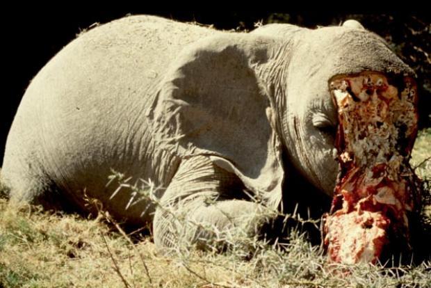 0c5cd02c9 Elephants and the Ivory Curse