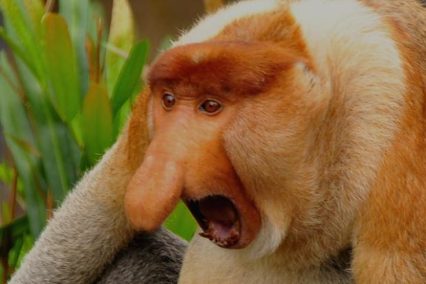 ugly animals endangered incredibly monkey proboscis