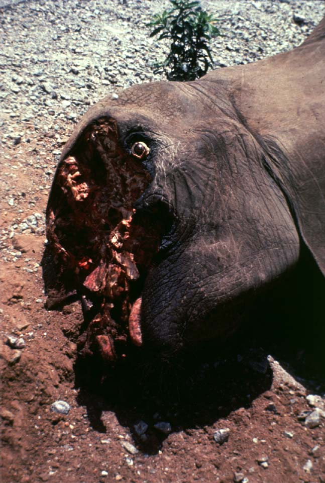 2ac9fbc35 Poached African elephant in Mount Kenya Just for the tusks