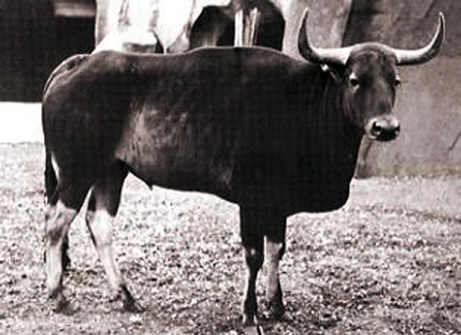 Giant Jungle Ox, Proven to be Real Species