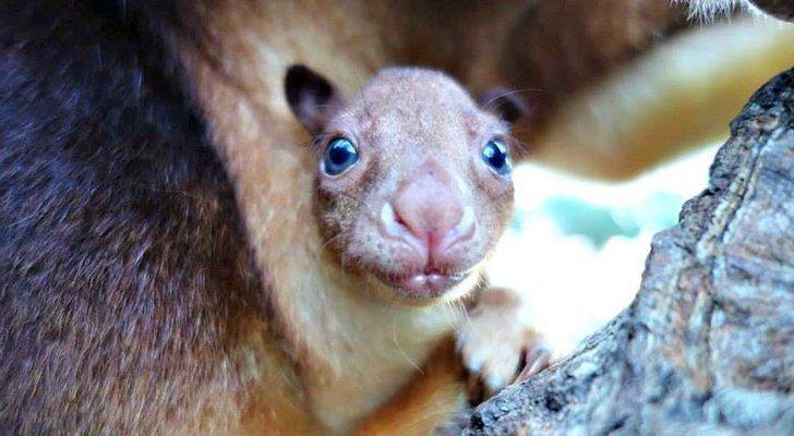 Goodfellow's Tree Kangaroo Joey at Taronga Zoo Is Utterly ...