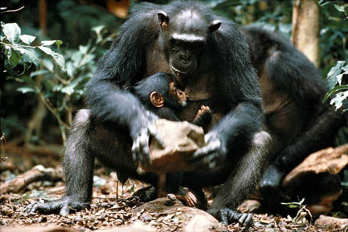 Chimps cracking nuts with stone