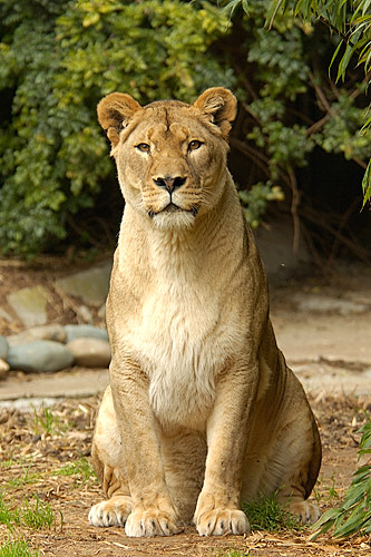 peculiarly sexually active lioness mates way too often