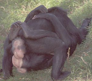 Chimp human sex remarkable