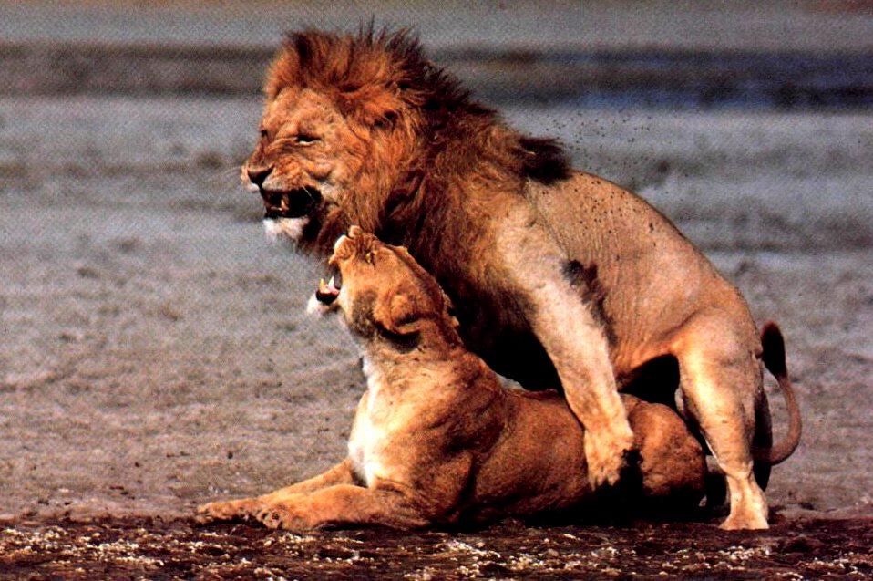 Videos of lions having sex 3