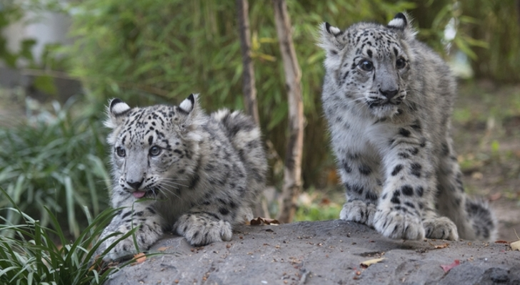 Baby Snow Leopards At Central Park Zoo Step Out Of Their Den Greet Fans