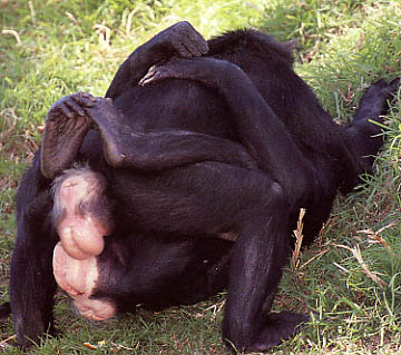 Ape sex pictures