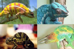 The Chameleons