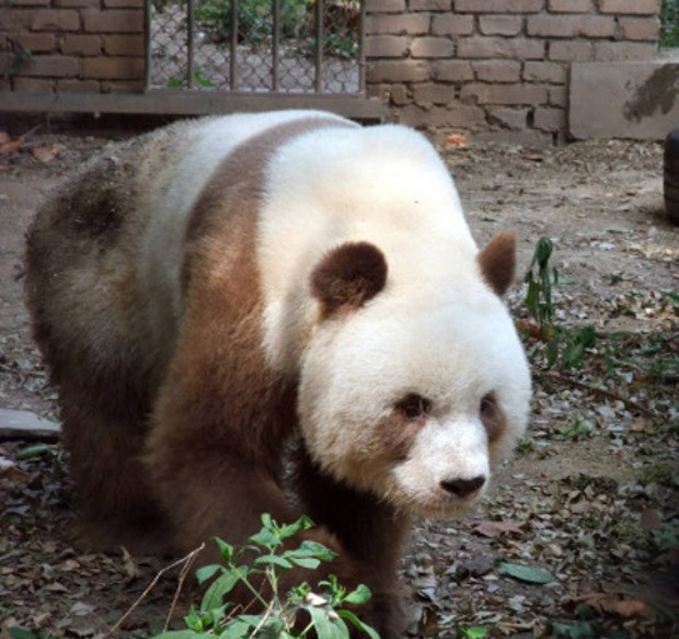 qi zai is a brown and white panda one of a handful in the world